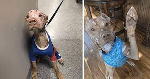 Severely Burned Pit Bull Defied The Odds And Is Now Loving Life